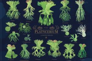 18原生種鹿角蕨插畫圖鑑-Platycerium-ビカクシダ